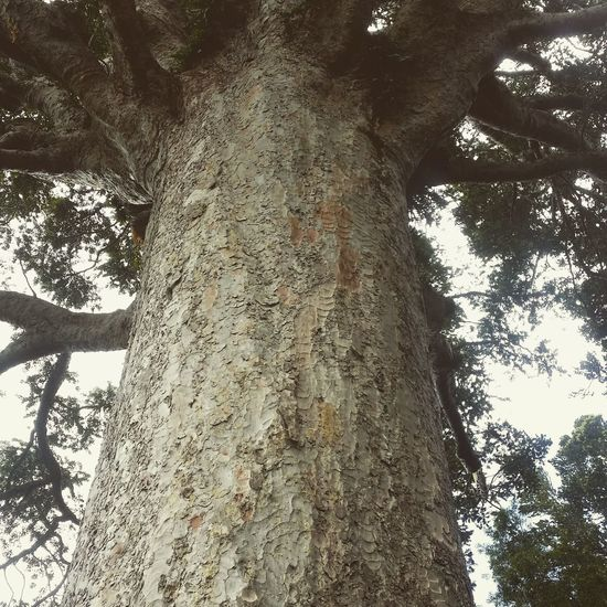Kauri, the biggest tree in New Zealand Biggesttree Kauri Newzealand Newzealandbiggesttree Tree Bigtree