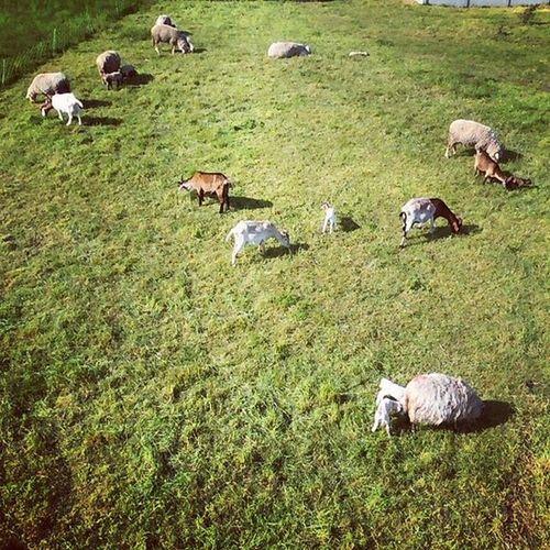 Schafe und Ziegen in München. Herdenleben from above! Postkarte Cc @schafzwitschern München