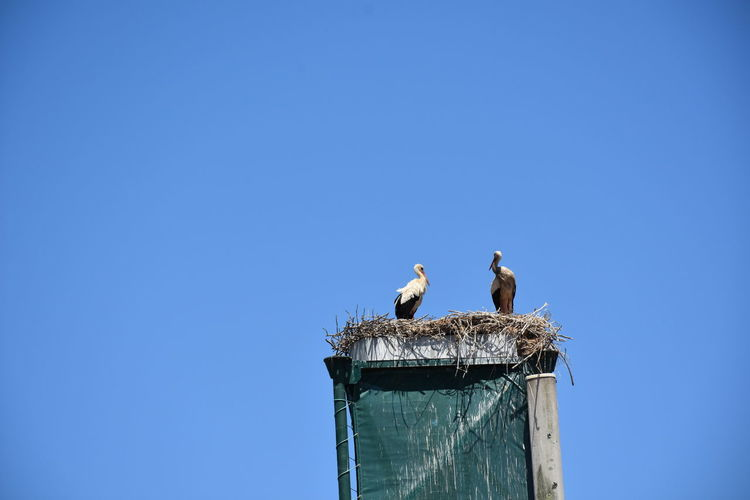 Low angle view of birds perching against clear blue sky