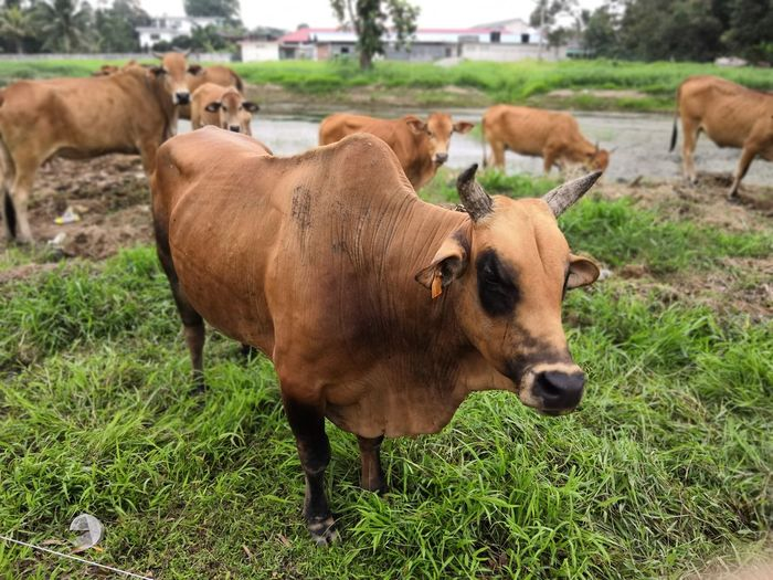 Am I come from urban? Agriculture Cow Grazing Eating Cattle Group Of Animals Field Grass Livestock Domestic Cattle Horned Bull - Animal Domesticated Animal Tag Dairy Farm Livestock Tag