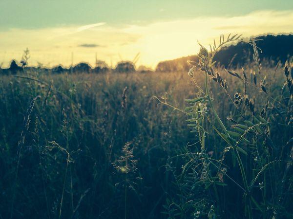 Grass Sunset Nature Eyeem Natur Lover