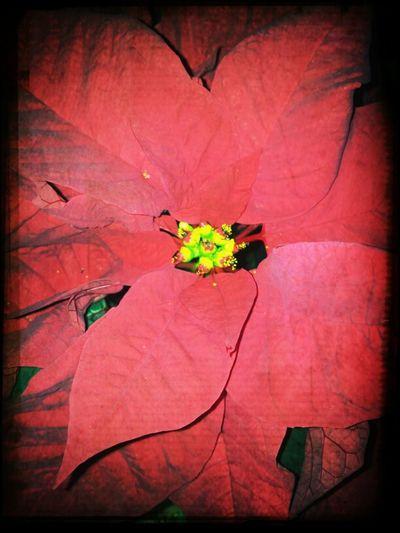 flower xmas