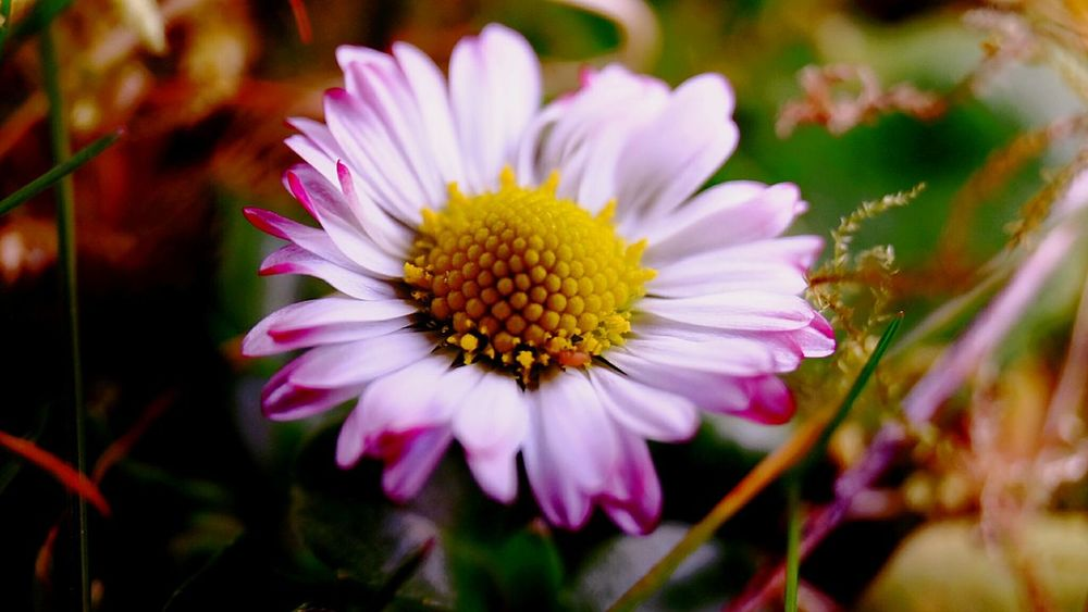 Kl.Gänseblümchen Outdoors Photography Nature Photography Botany Focus On Foreground Plants 🌱 Flowers In My Garden Flowers 🌸🌸🌸 Nature Fragility
