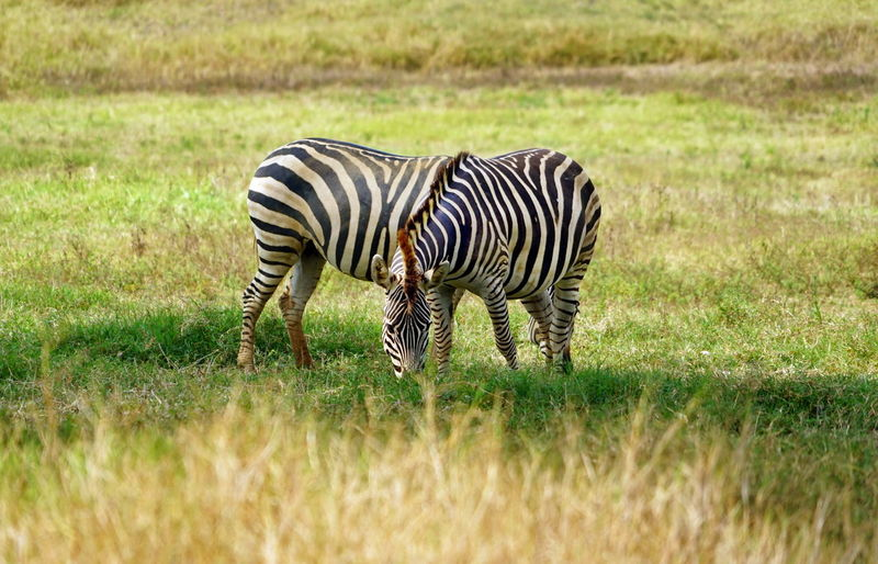 Stripes Animal Animal Themes Animal Wildlife Blend Grass Land Mammal Nature No People Outdoors Overlapping Safari Striped Stripes Pattern Two Become One Zebra