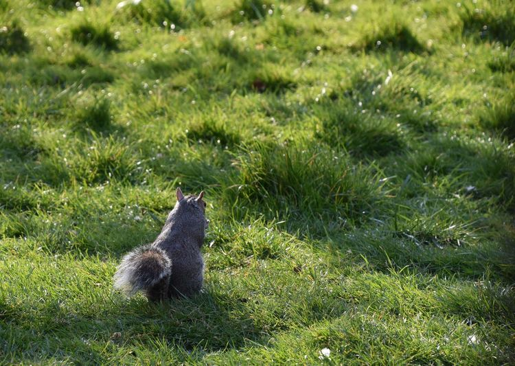 Animal Themes Animal Wildlife Animals In The Wild Bushy Tail Day Grass Green Color Nature One Animal Outdoors Squirrel Squirrel Looking Away