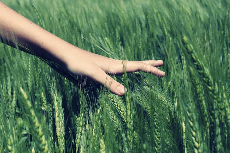 Close-Up Of Cropped Hand Touching Wheat On Field