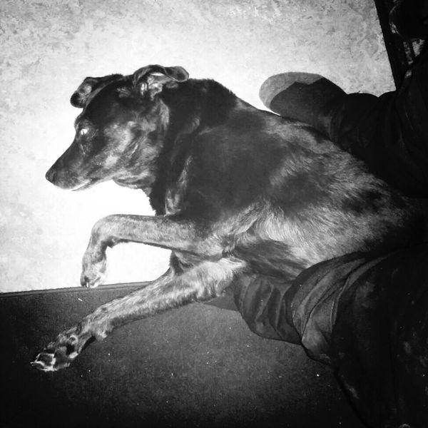 Sissy ligger och är slapp. Pets Djur Dog Hund #kelgris