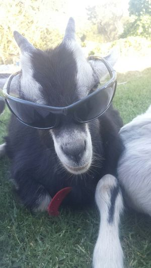 Billy Cool Relaxing Taking Photos Hanging Out Samsung Galaxy S4 Country Life Furfriend Goat Baby Goats Goat Life Cheese!