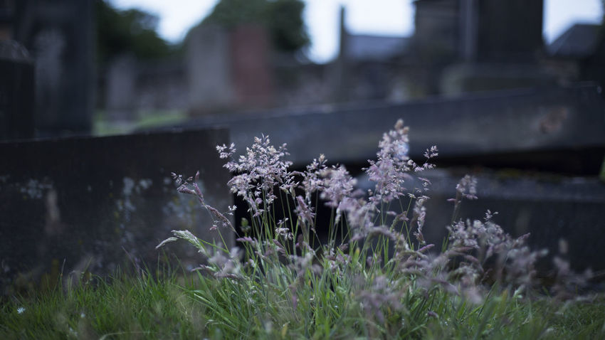 Graveyard Flowers Flower Cemetery Flower Flowering Plant Plant Focus On Foreground Fragility Beauty In Nature Growth Nature Day Outdoors Selective Focus Land Tranquility Freshness No People Close-up Springtime Grass Vulnerability