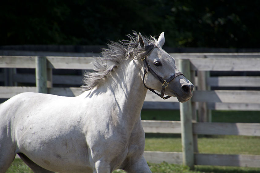 Running Horse Animal Themes Close-up Day Domestic Animals Grass Horse Im Free Livestock Mammal Nature No People One Animal Outdoors White Color