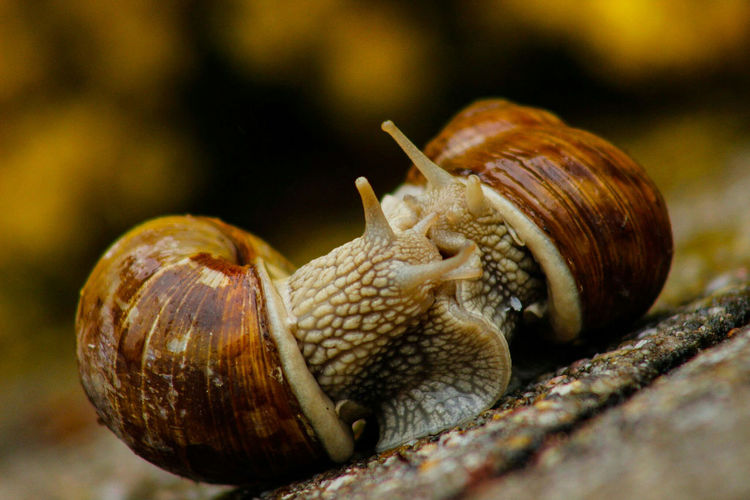 """We made love outdoors—without a roof, I like most, without stove, my favorite place, assuming the weather be fair and balmy, and the earth beneath be clean. Our souls intertwined and dripping with dew, and our love for each other was seen. Our love for the world was new.""  ― Roman Payne Snail Snails Making Love Outdoors Mating Copulation Natural Light Nature Love Mollusc Mollusks Ground Exceptional Photographs Springtime Beauty In Nature Spring After The Rain The Essence Of Summer Feel The Journey 43 Golden Moments Fine Art Photography Color Of Life Color Palette Pivotal Ideas Two Is Better Than One"