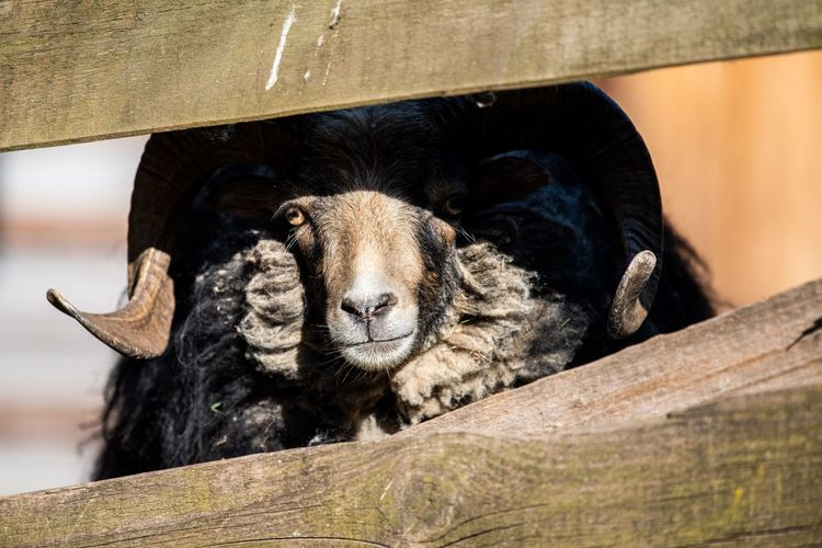 Half shadow, half sheep... Curiosity Light And Shadow Tranquility Adorable Fence Looking Through Ruminant Herbivorous Livestock Sheep🐑 Sheep RAM Animal Portrait Animal Animal Themes Mammal Vertebrate No People One Animal Nature Close-up Outdoors Relaxation Sunlight Looking At Camera Wood - Material Domestic Animals Pets Portrait The Great Outdoors - 2019 EyeEm Awards