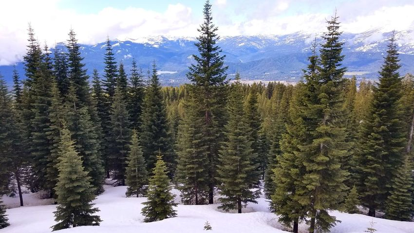 Tree Snow Sky Cold Temperature Nature Growth Forest Beauty In Nature Winter Outdoors No People Cloud - Sky Day Scenics Fragility Freshness Close-up Tranquil Scene Mt Shasta Tranquility Backgrounds Freshness Mountain Nature Mountain Range