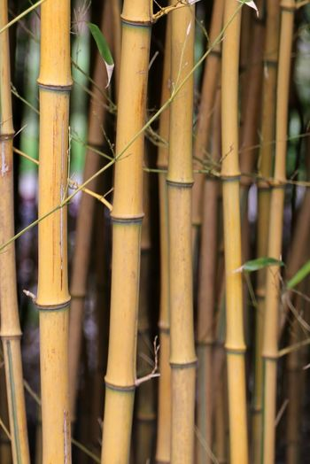 Plant Bamboo Trees Bamboo Tree Bamboo - Material Nature Branch Bamboo Shoot Bamboo - Plant Bamboo Tree... Bamboo Leaves Growth Freshness Beauty In Nature Bamboo Groves Fragility Bamboo Forest Zen Bamboo Leaf Bamboo Canes Spa
