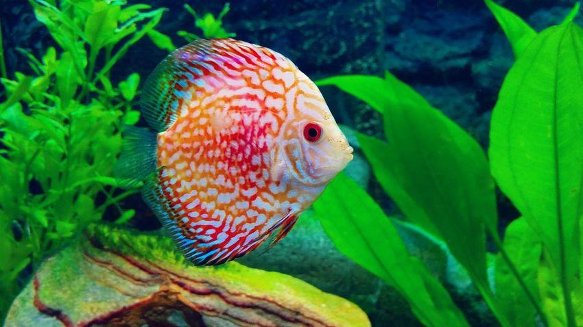 Fish Fishing Fishlovers Fishtank Fishandchips Fishandwater Fishaquarium Fishing Time Discus Beautiful Colours Amazing Nature Eyem Best Shots
