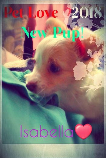 Pet Love Magazine Creative Art My Passion Lap Dog Magazine Feeling Font Pixlr Cutenessoverload Side View Taken With Phone 👀 Close Up Check This Out New Photo Dogs 5megapixels Calming Just Chilling Taking Photos Pets Dog Multi Colored Text Close-up Puppy Chihuahua - Dog Lap Dog