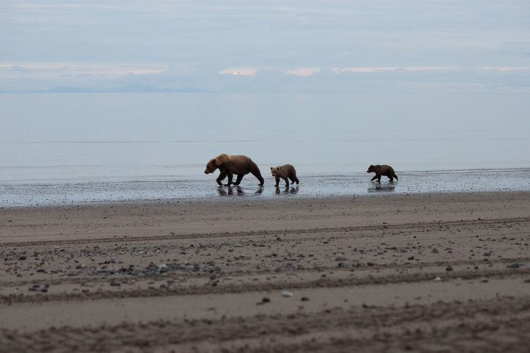 Bears Walking On Shore At Beach Against Sky