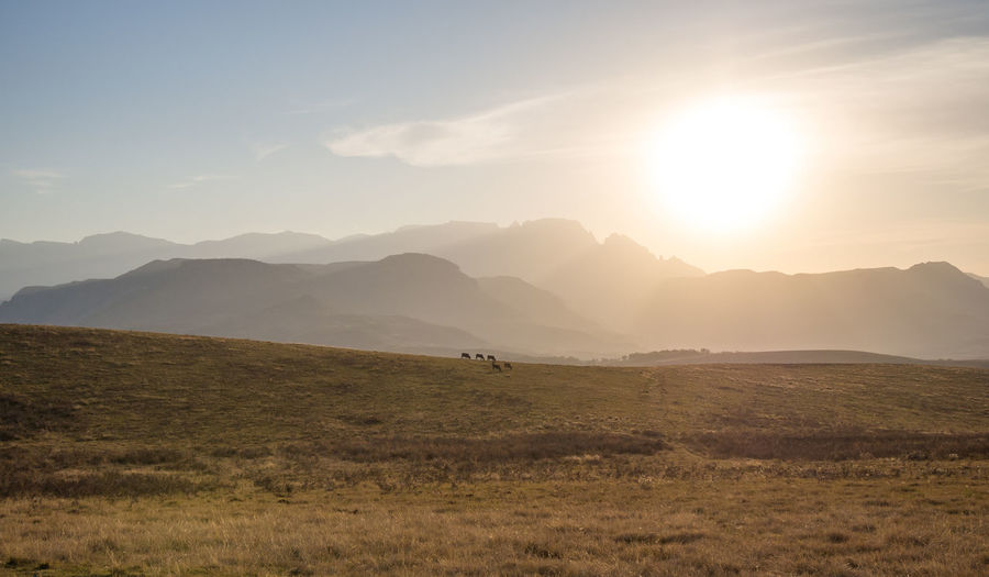 Scenic view of cows grazing on field against sky and mountains during sunset, drakensberg mountains, south africa