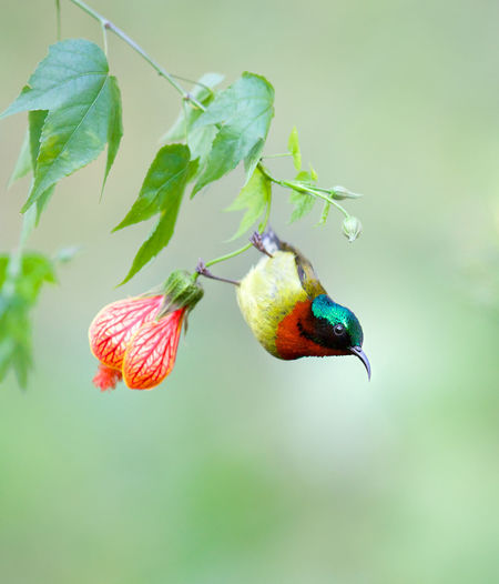 Fork-talied sunbird. Beauty In Nature Close-up Flower Flowers Fork Green Color Nature No People Outdoors Showcase August Spring Sunbird Tail The Great Outdoors - 2016 EyeEm Awards