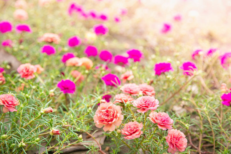 Close-up of pink roses on field