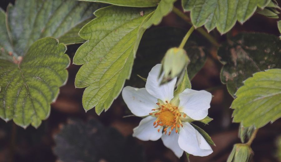 Strawberry Plant Taking Photos Feeling Creative OpenEdit EyeEm Best Shots EyeEm Nature Lover Freshness Nature High Angle View Flower Collection Flower Head Flower Springtime Close-up Plant Green Color In Bloom Blooming
