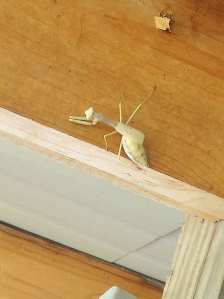 preying mantis Insects Of Eyeem Praying Mantis Prayingmantis White Praying Mantis White Insect Albino Praying Mantis Business Finance And Industry Architecture