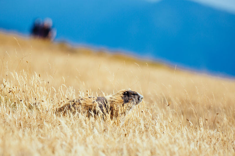 Marmot Sitting On Grassy Field