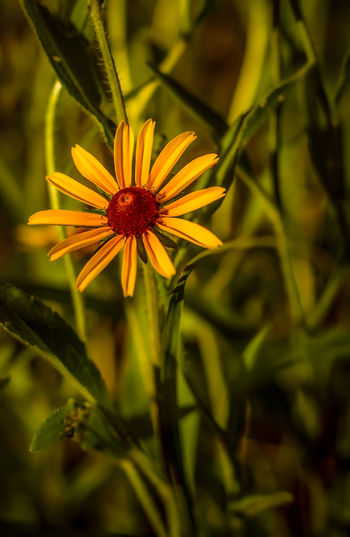 Artistic shot of a black eyed susan Beauty In Nature Blooming Bokeh Bokeh Photography Close-up Day Dof Nature Dof_brilliance Dofaddicts Flora Flower Flower Head Fragility Freshness Green Color Growth Howard Roberts Nature No People Outdoors Petal Plant Pollen Single Flower Yellow