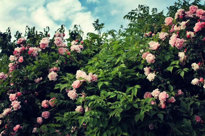 Aesthetics Beautiful Beauty In Nature Bush Colors Flower Flowering Plant Nature Pink Roses Rose - Flower Rosebush Roses Sky Vegetation