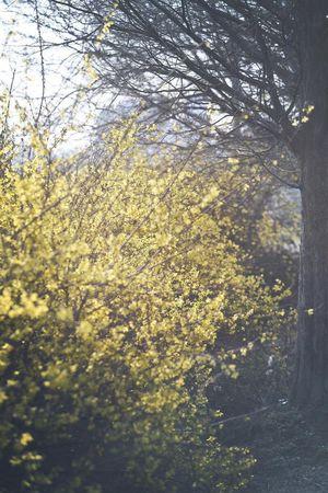 Forsythia Flowers Spring 개나리 피는 봄이 다시 돌아왔네요