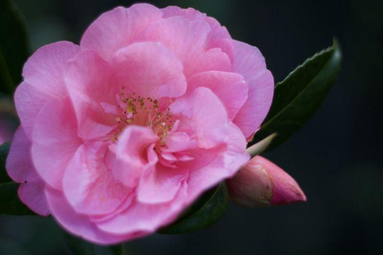 Camellia in