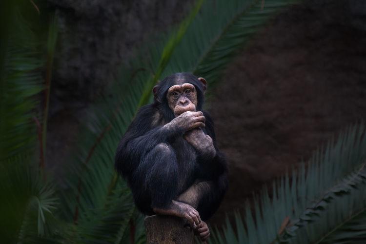 Shimpanzee Ape