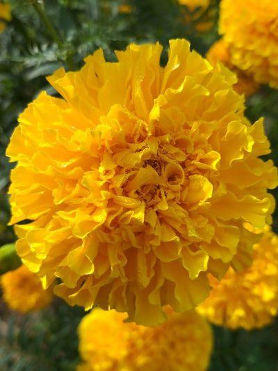 ดอกไม้สีเหลือง Flower Marigold Yellow Petal Close-up Plant