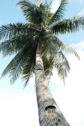 Tree Sky Low Angle View Nature Outdoors Day Beauty In Nature Coconut Trees Bintanisland EyeEm Nature Lover