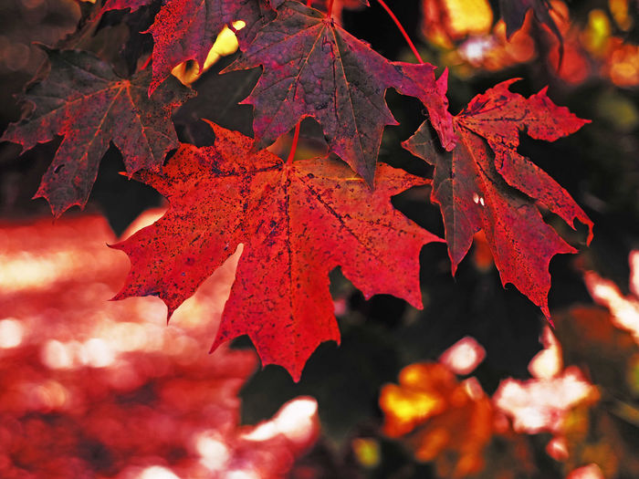 In the park Autumn Autumn Collection Beauty In Nature Change Close-up Day Dry Fall Leaf Leaf Vein Leaves Maple Leaf Maple Tree Natural Condition Nature No People Orange Color Outdoors Plant Plant Part Red Selective Focus Tree