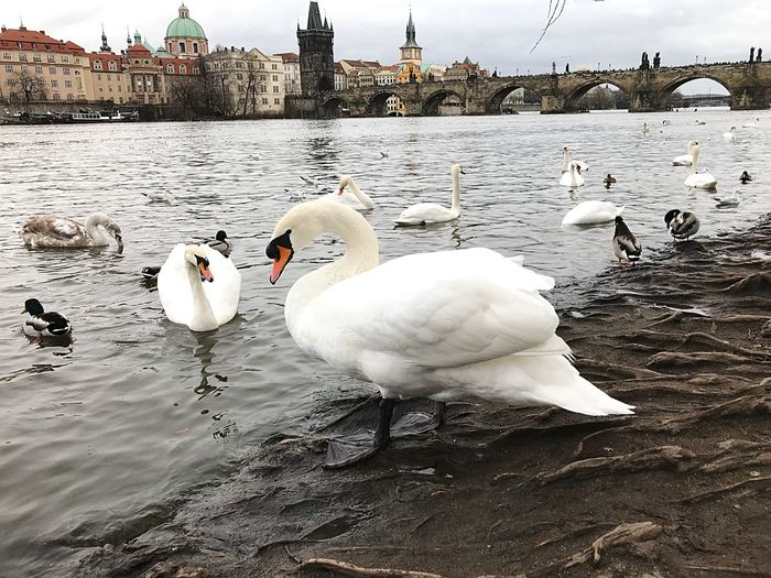 Swans Prague Czech Republic Prague Swans On The Lake Swans EyeEm Selects Bird Water Animals In The Wild Animal Themes Animal Wildlife Nature Outdoors Swan Lake No People Architecture Sky Day Beauty In Nature