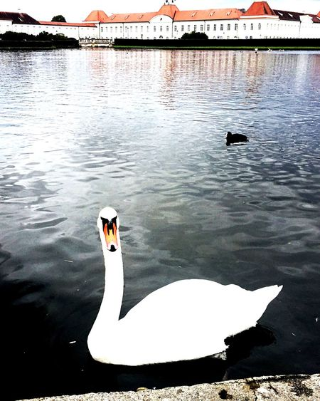 EyeEm Selects Animals In The Wild Animal Themes Bird Lake Swan An Eye For Travel Water One Animal Swimming Animal Wildlife Nature Day Water Bird Outdoors EyeEmNewHere