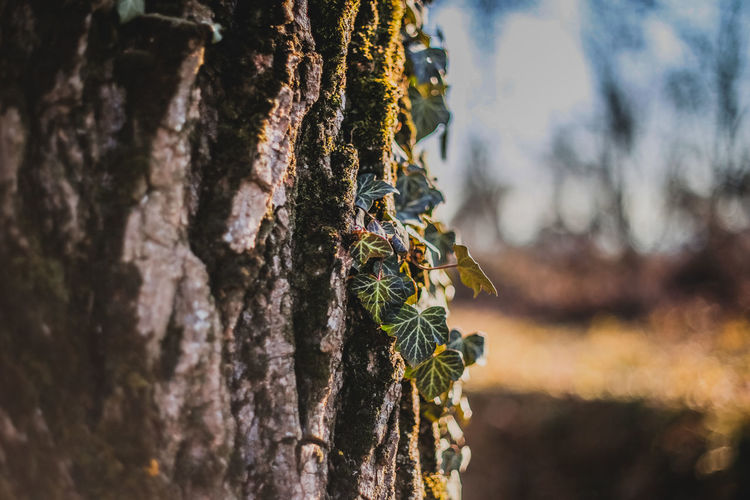 Trunk Close-up Tree Trunk Plant Tree Nature Invertebrate No People Animal Wildlife Animals In The Wild Textured  Selective Focus Focus On Foreground Day Insect Growth Outdoors Animal Animal Themes Rough Bark Lichen