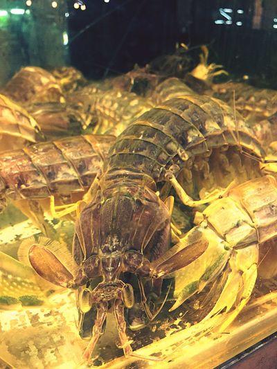 กั๊ง Crayfish