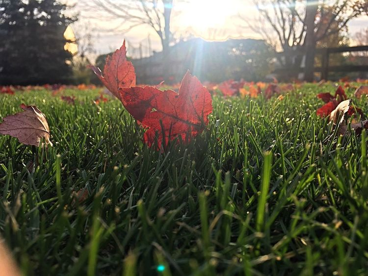 Nature Grass Fallen Leaves No People Maple Leaf Dry Beauty In Nature Close-up Sunlight Outdoors