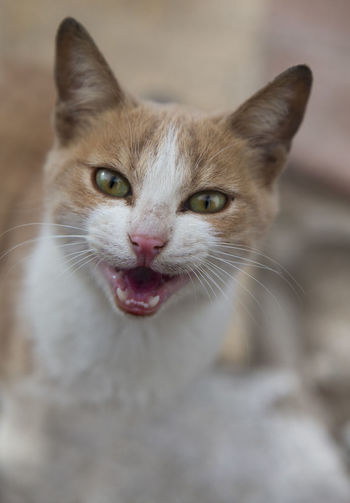 Animal Life Cat Face Cat Potrait Green Eyes Mammal Smiling Smiling Cat Smiling Face Street Cat Of Alexandria,egypt