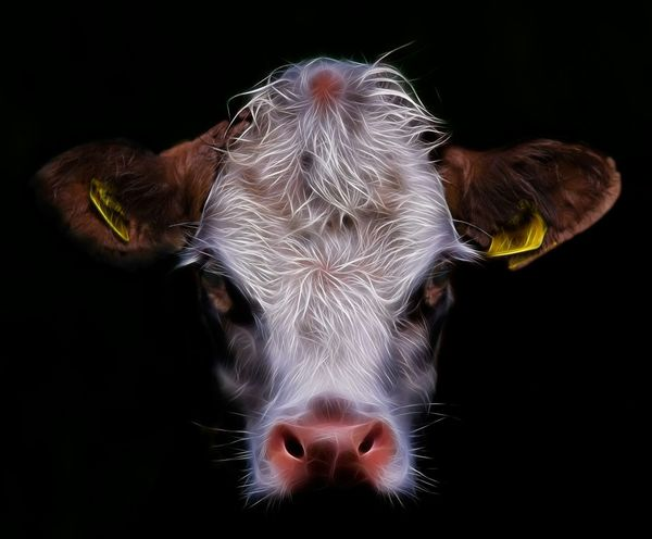 Cow Face. Cow Cattle Farm Cow Face Mood Scary Face Getting Creative Natures Diversities Fine Art Photography Colour Of Life EyeEm Diversity BYOPaper! Perspectives On Nature