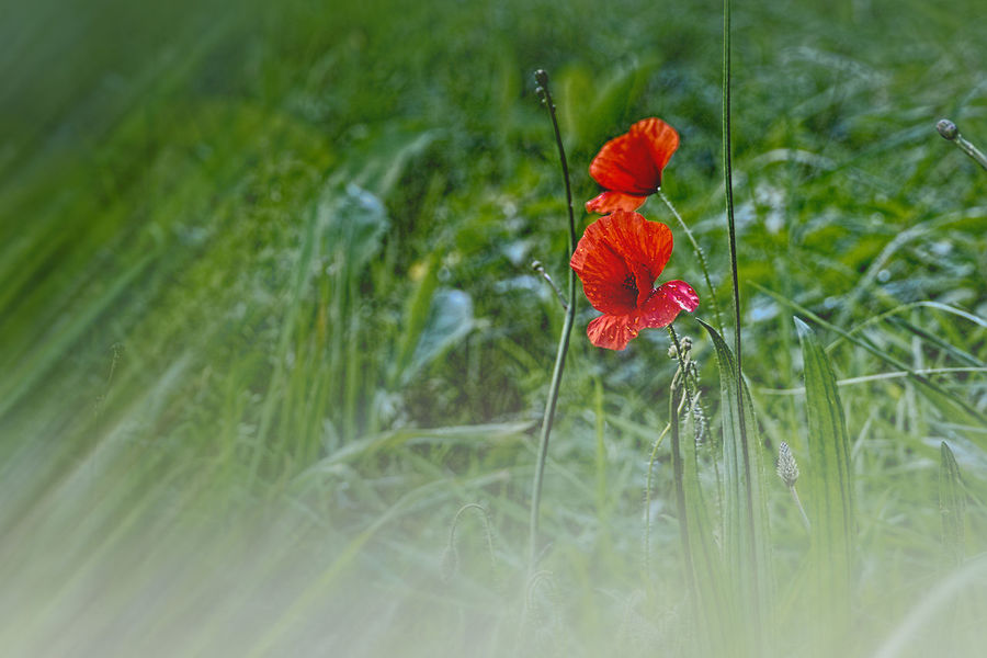 Beauty In Nature Bloem Bloemen Blooming Botany Field Flower Flower Head Flowers Focus On Foreground Fragility Freshness In Bloom Mohnblume Nature No People Outdoors Petal Plant Poppy Red Selective Focus Tranquility