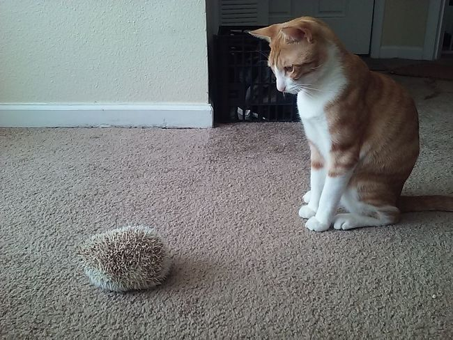 Ray/Flash w/Hedgie. Cat♡ and Hedgehog . Afternoon Photo♡ . JustHangingOut . Catlife . Friends ❤ .