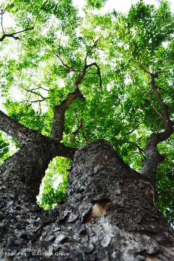 Tree Tree Growth Nature Low Angle View Green Color No People Textured  Beauty In Nature Tree Trunk Outdoors Day Branch Sky Close-up Huge