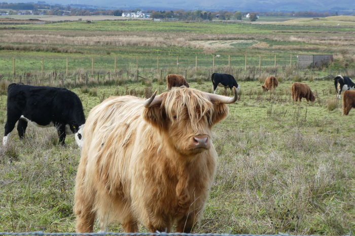 Agriculture Animal Themes Beauty In Nature Day Domestic Animals Field Grass Highland Cattle Landscape Livestock Mammal Nature No People Outdoors Rural Scene Scotland