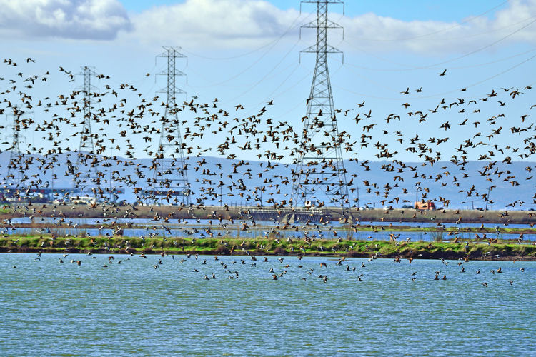 Waterfowl At Eden Landing 4 Eden Landing Ecological Reserve Marsh Tidal Wetlands Ponds Migratory Shorebirds Birds🐦⛅ Birdwatching Avocets Dowitchers Birds In Flight Bird Photography Birds_collection Power Pylons & Lines Toll Plaza Hwy Traffic Silhouettes Marin Headlands Nature Nature Collection Beauty In Nature Flying Flock Of Birds Migrating