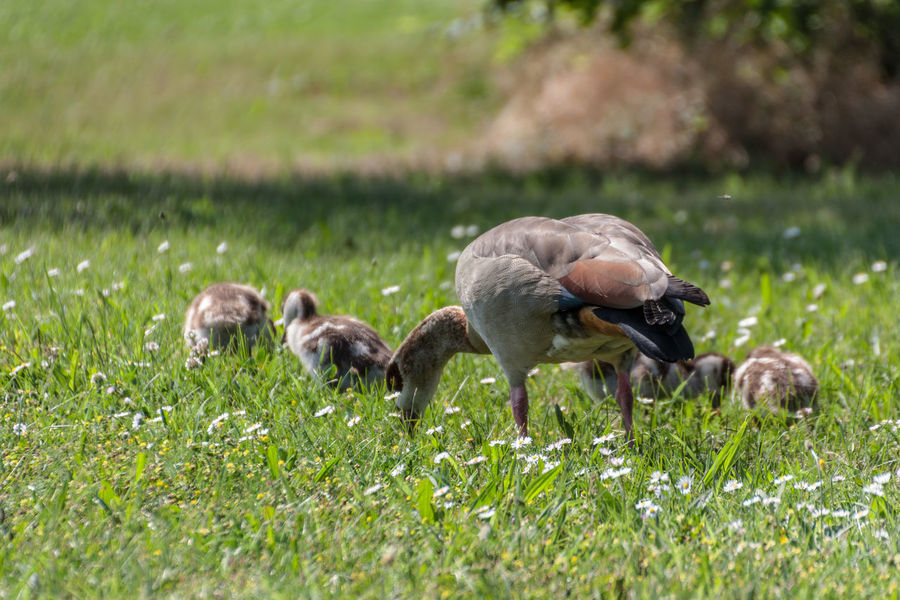 Nilgans mit Küken Alopochen Aegyptiaca Animal Animal Family Animal Themes Animal Wildlife Animals Animals In The Wild Bird Birds Egyptian Goose Goose Grass Green Color Group Of Animals Nature No People Outdoors Young Animal Young Bird