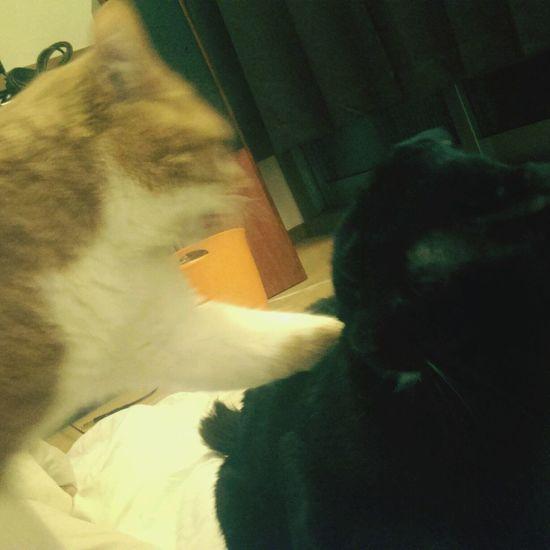 Cat Cat Fight