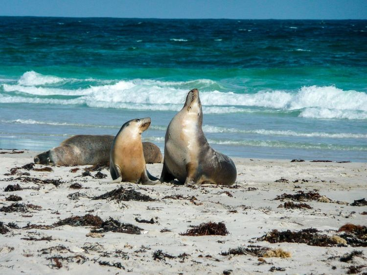 Kangaroo Island Sea Animals In The Wild Water Beach Horizon Over Water Nature Sea Lion Aquatic Mammal Animal Themes Animal Wildlife Beauty In Nature No People Sand Mammal Sea Life Day Scenics Outdoors Wave